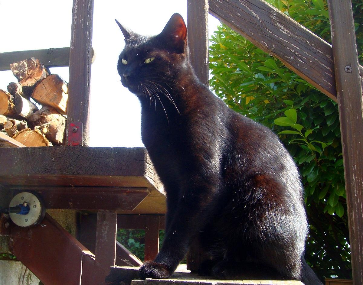 vruće crne fotografije maca